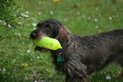 types  wire hair dachshunds pets