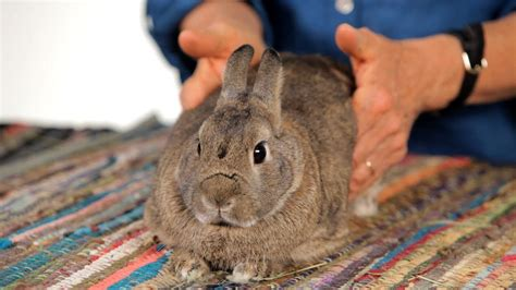 How To Help A Rabbit With Gas Pain Pet Rabbits Youtube