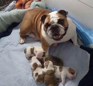 465 best Bull Dog images on Pinterest   English bulldogs ...