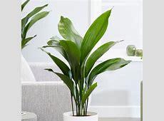 Buy aspidistra cast iron plant Aspidistra elatior