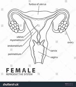 Female Reproductive System Diagram Unlabeled Beautiful