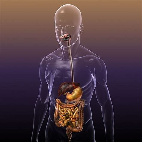 digestive system   human body  model max obj ds fbx