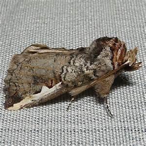 Idaho Moth Identification