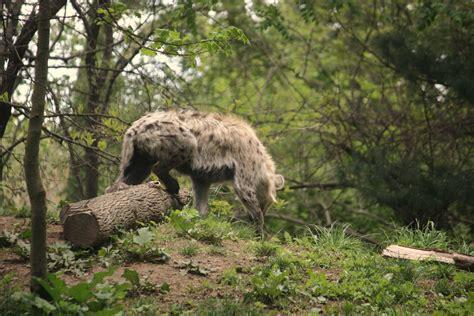 File:Crocuta crocuta at the Bronx Zoo 003.jpg - Wikimedia ...