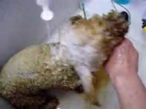 Worst Flea Infestation Dog