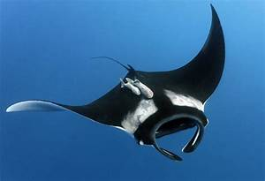 5 Interesting Facts About Giant Manta Rays