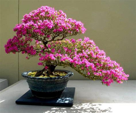 liynznph aido bonsai