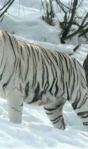 Siberian Tiger Facts, Cubs, Habitat, Diet, Adaptations ...