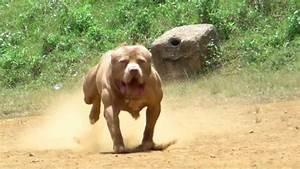 Pics For > Pitbull Dog Vs Lion