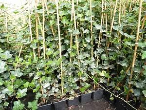 Efeu Pflanzen Kaufen : irischer efeu hedera helix hibernica bodendecker ~ Michelbontemps.com Haus und Dekorationen