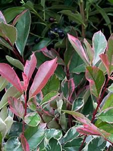 Glanzmispel Pink Marble : photinia fraseri 39 pink marble 39 wei gr ne glanzmispel ~ Michelbontemps.com Haus und Dekorationen