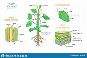 Plant Structure And Cross Section Botanical Biology