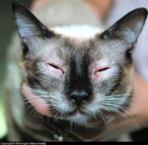 feline skin lesions  pictures  cat skin problems