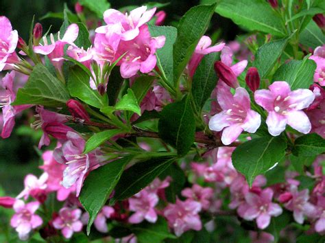 weigela shrubs when to prune weigela shrubs garden guides