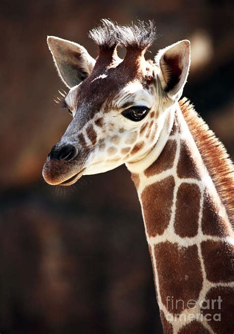 baby giraffe photograph by rizzuto