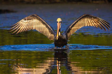 states  lose state birds  audubon birds