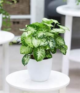 Rankhilfe Für Zimmerpflanzen : syngonium purpurtute 39 pixie 39 1a zimmerpflanzen bestellen baldur garten ~ Yasmunasinghe.com Haus und Dekorationen