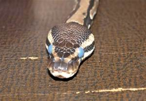 miv news hobbies ball python shedding