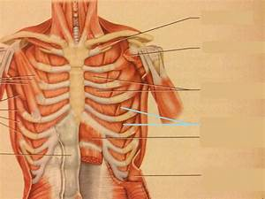 Muscles Of Head  Neck  Chest  Back  Abdomen  And Shoulder