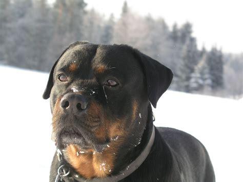 Animals Rottweiler Dog