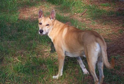 rarest dog breeds   world