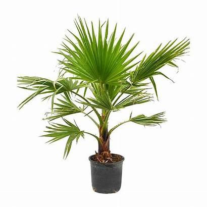 Palm Fan Washingtonia Mexican Robusta Indoor Plants