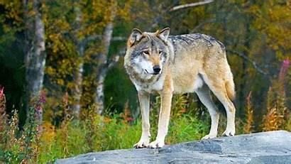Wolf Animal Bbc Amazing Cbbc Dads Standing