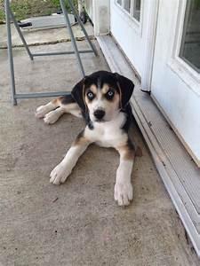 beagle/husky mix! | Dog Breed Mixes and Mutts | Pinterest ...