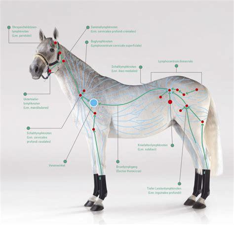 lymphsystem des pferdes lymphe lymphkreislauf und