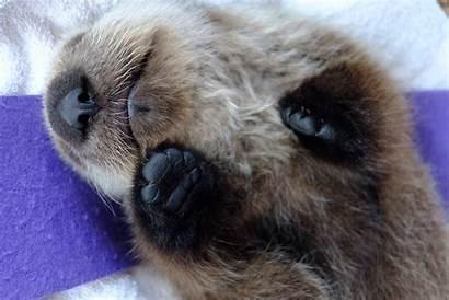 Otter Sea Aquarium Pup Vancouver Sleeping Marine