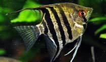 Süßwasserfische Fürs Aquarium : fische s wasserfische gut f r anf nger ~ Lizthompson.info Haus und Dekorationen