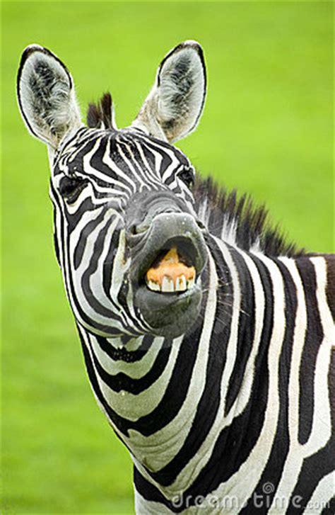 funny zebra stock images image