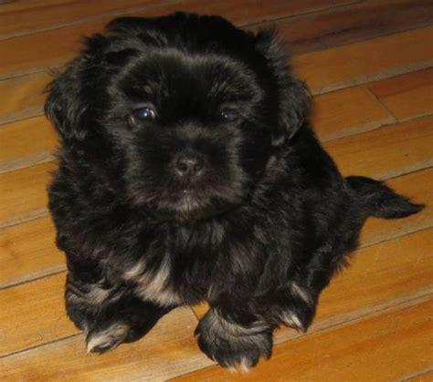 maltese lhasa apso google search pets family lhasa