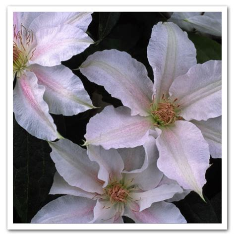 Shade Clematis That Will Completely Change Your Garden