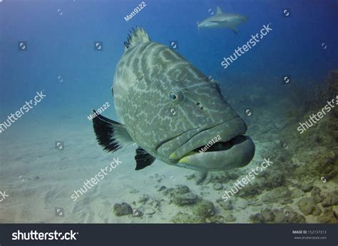 grouper bahamas shutterstock