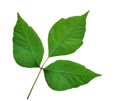 poison leaf homeopathy for poison ivy and poison oak homeopathy works