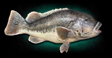 Tautog Fish Replica Mounts by Marine Creations Taxidermy