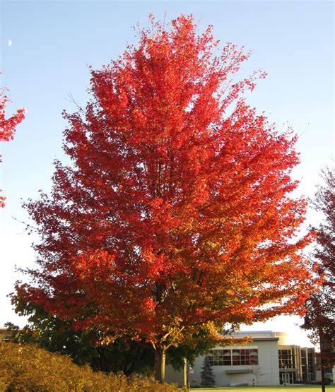 best maple tree for fall color acer saccharinum silver maple tree in fall colors newar