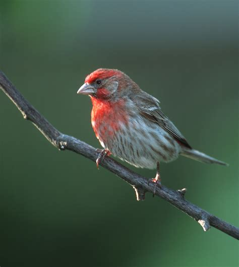 house finch song notes on the cultured