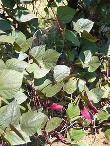 LABLAB – HYACINTH BEAN (Lablab purpureus)