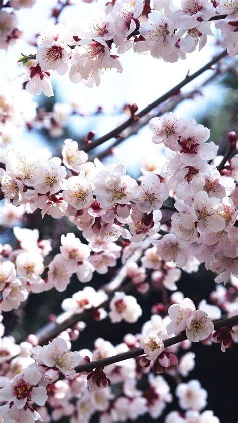 cherry blossom iphone background