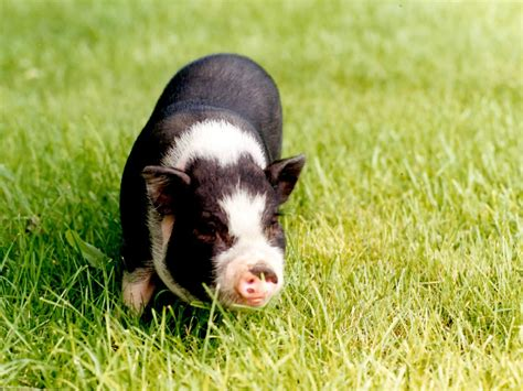 mini pot belly pig potbellypigs com everything you need to know about your pot bellied pet