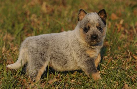 blue heeler shed a lot australian cattle blue heeler shedding breeds