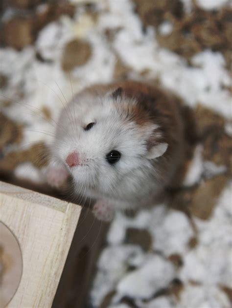 Animals Hamsters Free Wallpaper