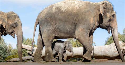 elephant asian taronga conservation australia animal
