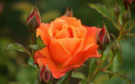 Beautiful Orange Roses Wallpapers by Beautiful Orange Wallpaper Hd 07649 Baltana