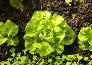 Salat Pflanzen Abstand : wintersalat anbauen sorten aussaat zeitpunkt ~ Markanthonyermac.com Haus und Dekorationen