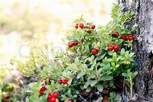 Busch Mit Roten Beeren : preiselbeer strauch mit roten beeren stockfoto colourbox ~ Markanthonyermac.com Haus und Dekorationen