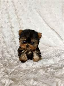 Extreme Micro Teacup Yorkie Puppy For Sale  Los Angeles Breeder