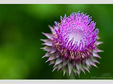 National Flower Of Scotland Thistle Flower 123Countriescom